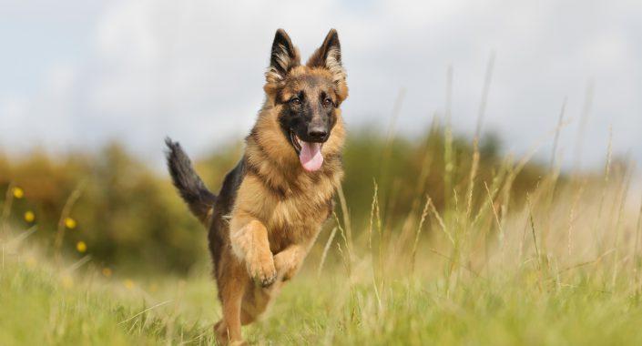 آموزش خرید سگ ژرمن شپرد