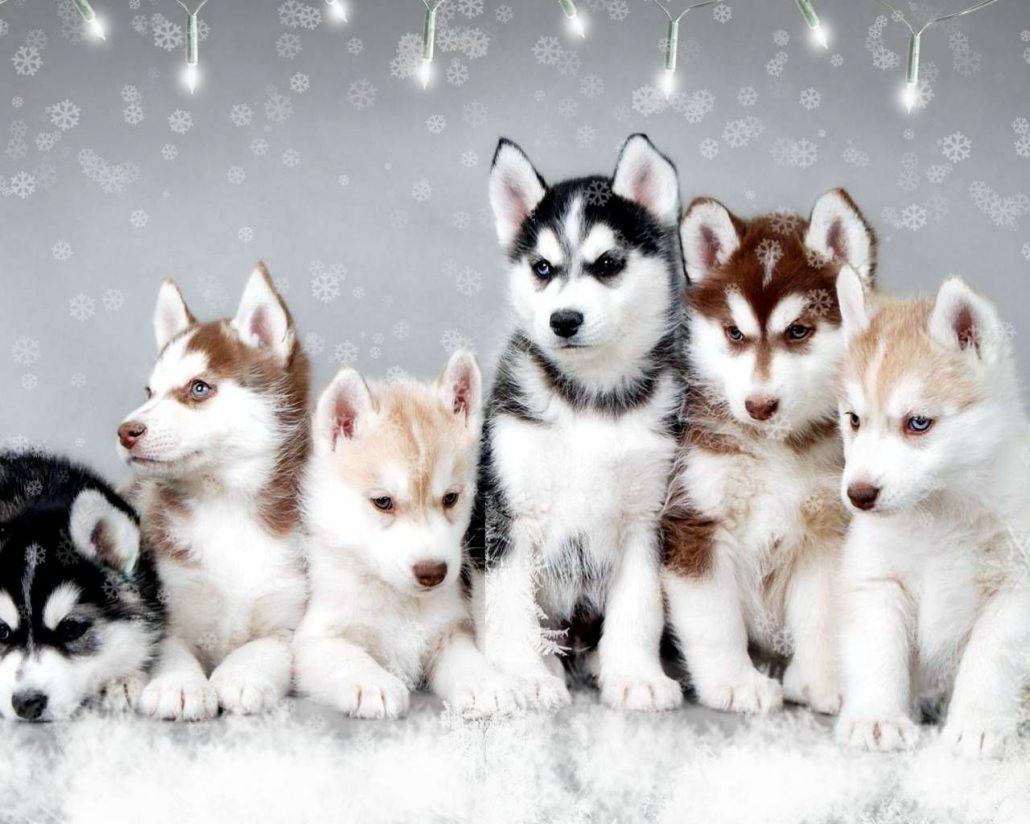 تربیت و قیمت خرید توله سگ هاسکی