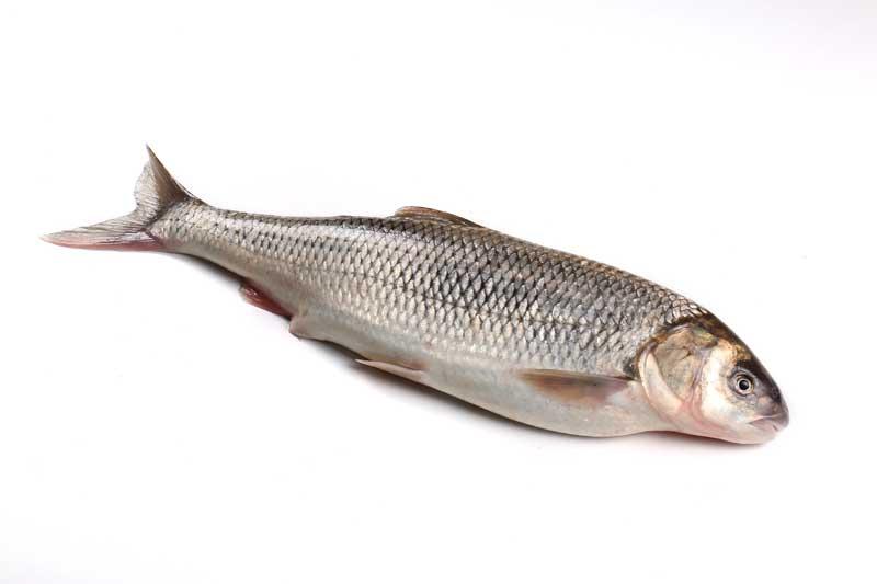طعمه ماهیگیری برای صید ماهی سفید